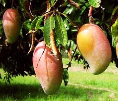 mango-ngowe.jpg